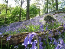 Bluebells at Barbooth Lot