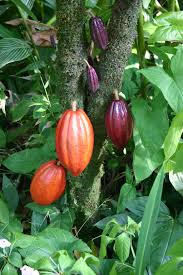 Fruit of the Cacao tree