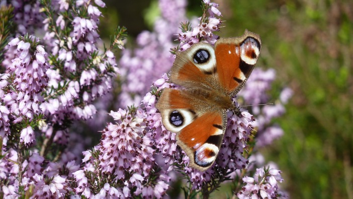 Peacock Butterfly on heather at Holehird Gardens. Windermere / CC 2.0 Sarah Wiltshire
