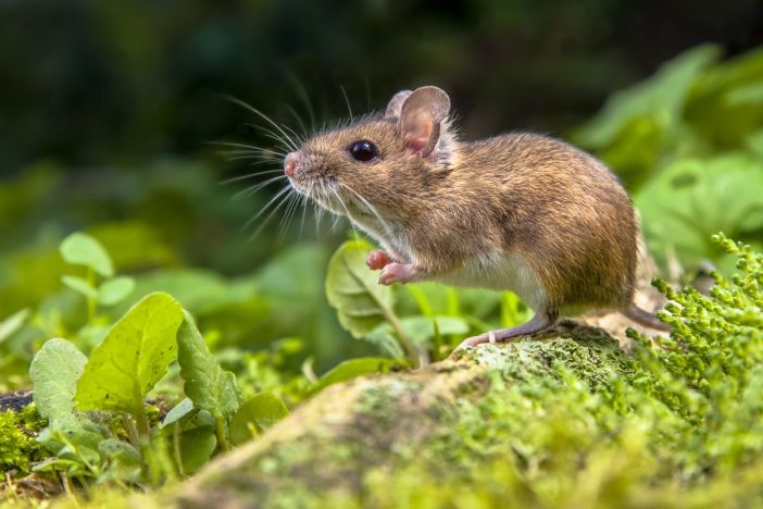 Wild Wood mouse resting on the root of a tree on the forest floor with lush green vegetation