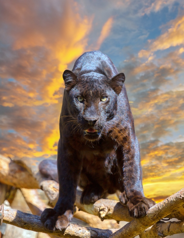 Black leopard looking camera with beautyful sky at sunset